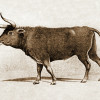 The Aurochs is coming back to European forests and grasslands