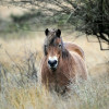 Wild horses for Europe – which breed is the best?