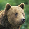 Bad news: brown bears extinct in Austria