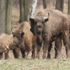 In Germany they have released wisent into the Wild