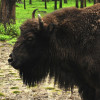 Experience from Poland: wisent breeding can be combined also with intensive forest management