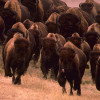 Farm breeding of the American bison pose a risk for wild Wisents