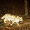 The wild cat is back. Camera traps have caught it after sixty years