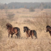 The first herd of wild horses has today run onto a pasture in a former military area after the Soviet army