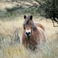 European Wildlife - Exmoor pony grazes near Rackenford, United Kingdom. - Photo: Isifa.com / Matt Cardy