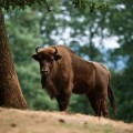 European Wildlife – European Bison in the forest. - Photo: Isifa.com