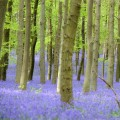 European Wildlife - Spring blanket of bluebells on the woodland floor at the Ashridge Estate in Hertfordshire, United Kingdom. Photo: Isifa.com / Mark Stewart