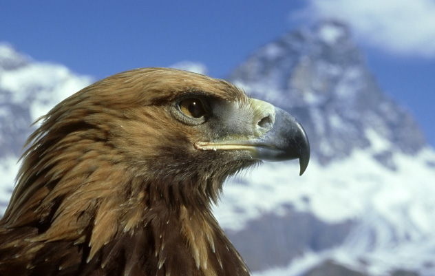 golden eagle wallpaper. wallpaper Golden Eagle