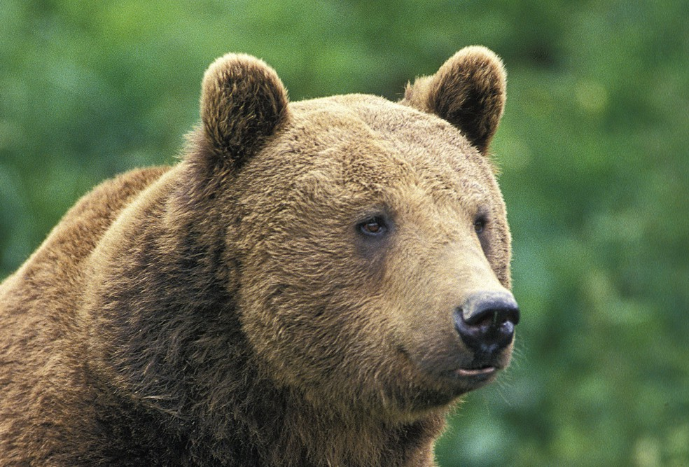 Bad news: brown bears extinct in Austria | European WILDLIFE
