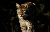 European Lynx – a new visitor of two national parks