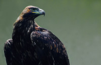Slovakia: Eastern Imperial Eagles were poisoned, confirmed authorities