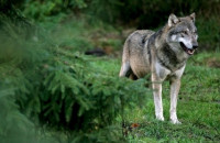 A wolf has been spotted in Belgium