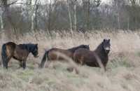 Wild horses are getting used to a new environment well; gradually they are forming a new herd