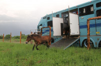 Wild horses are settling down in Podyji National Park, they came today from Exmoor, England