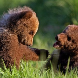 European Wildlife - Two of the brown bear cubs play in the grass at the wildlife park of Poing, southern Germany.  - Photo: Isifa.com / Andreas Gebert