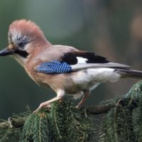 European Wildlife - Eurasian Jay. - Photo: Isifa.com