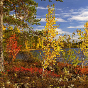 European Wildlife - Fall colours in Koli national park, Finland. - Photo: Samphotostock / Luca Manieri