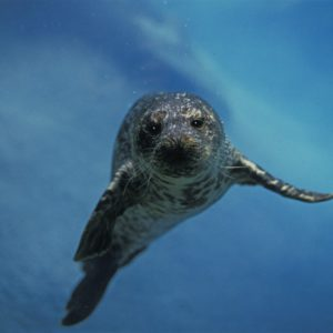 European Wildlife - Harbour Seal under water. - Photo: Isifa.com / Gerard Lacz