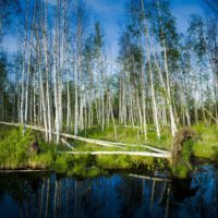European Wildlife - The wetland marshes from eastern of Finland. - Photo: Samphotostock