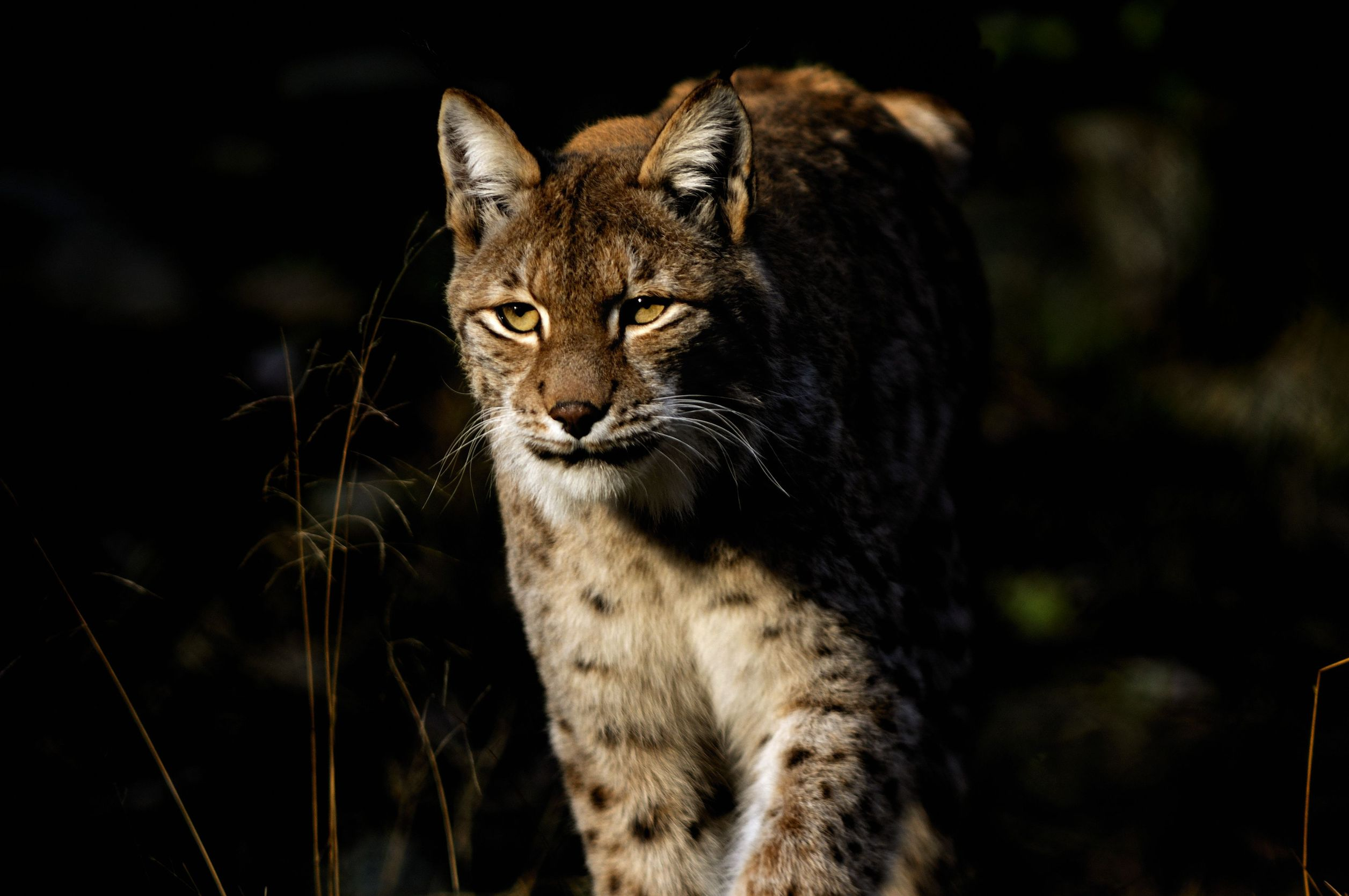 European Lynx - a new visitor of two national parks