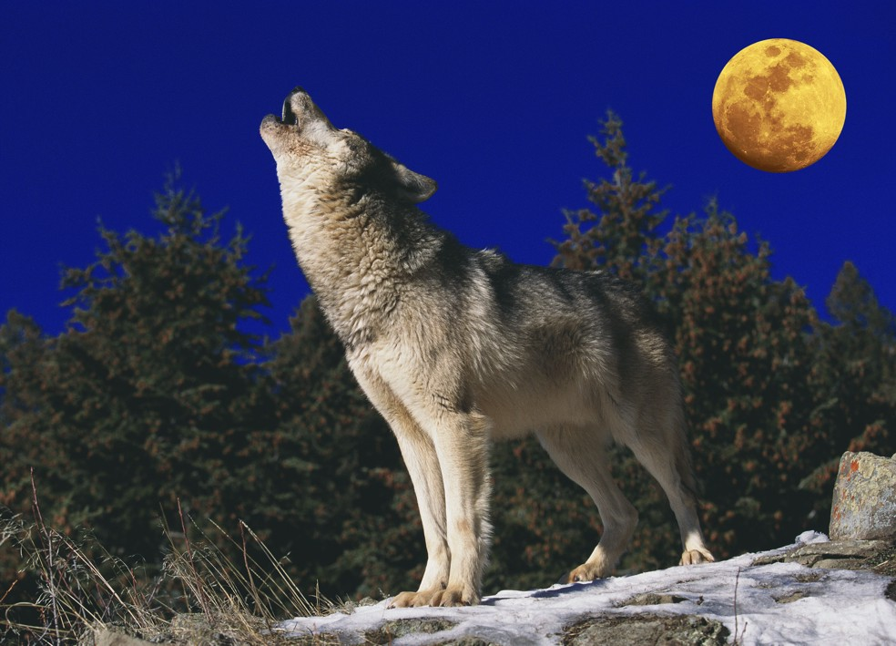 Wolves are doing well in Germany, there are twice more of them than two years ago
