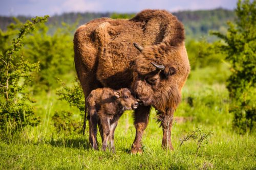 The first young wisent this year was born today in a nature reserve; male Polanin has become a father for the first time