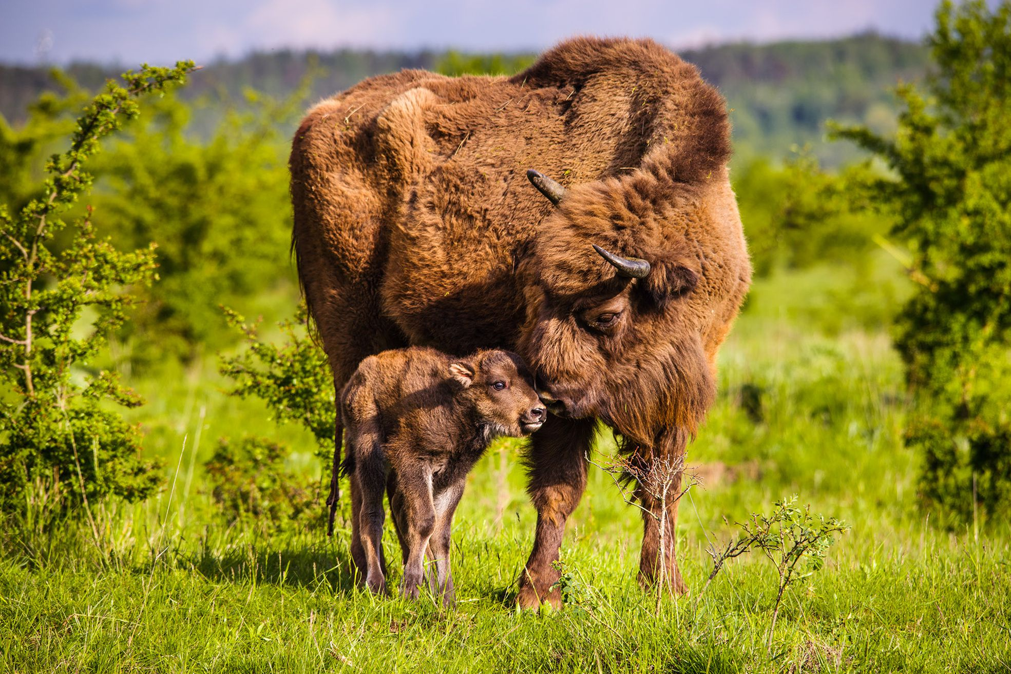 The first young wisent this year was born today in our nature reserve; male Polanin has become a father for the first time