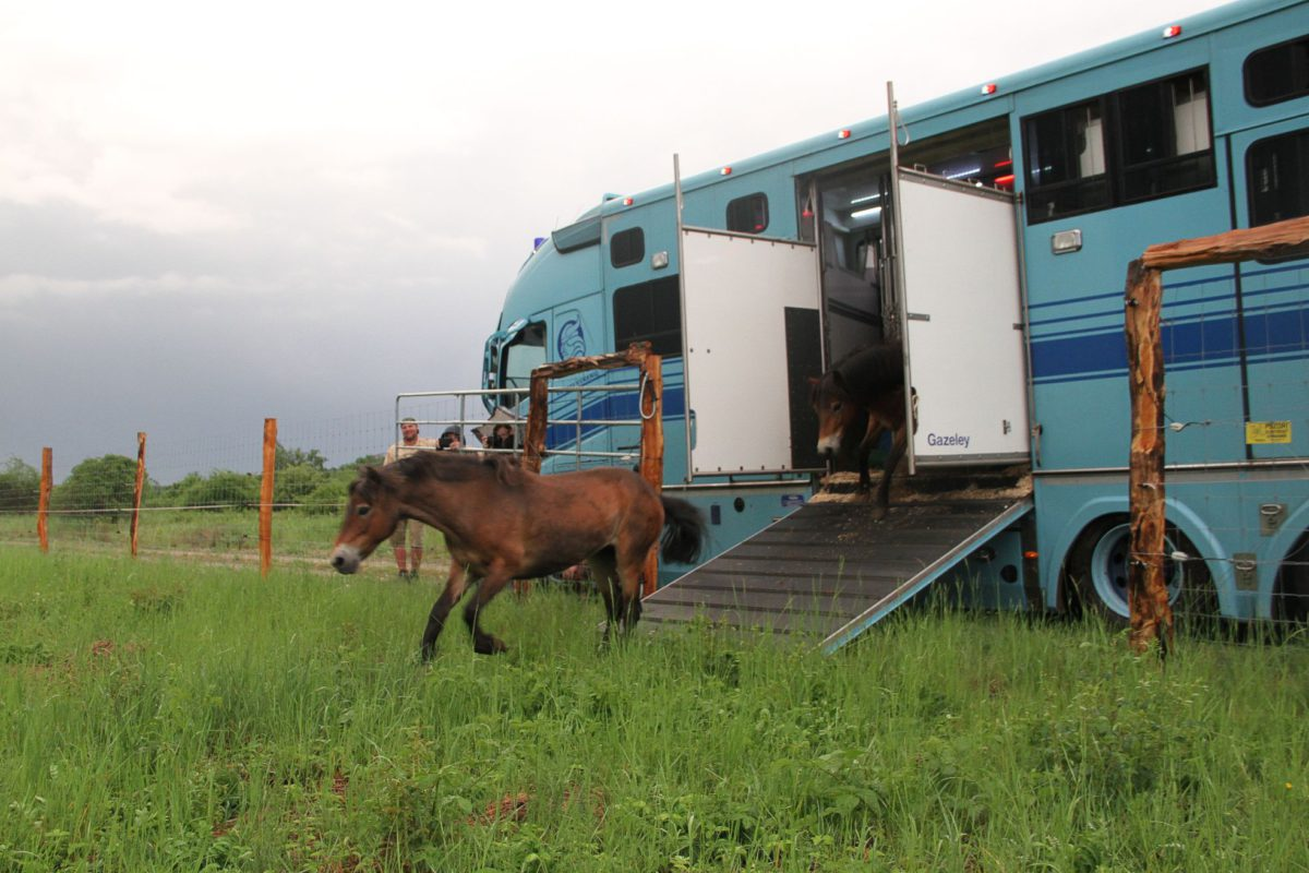 Wild horses are settling down in Podyjí National Park, they came today from Exmoor, England