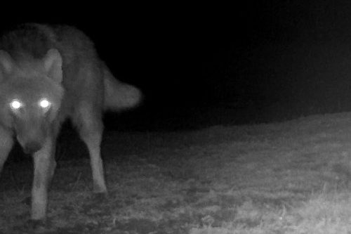 Wolf sighted in wisents and wild horses nature reserve. It was captured by a camera trap.