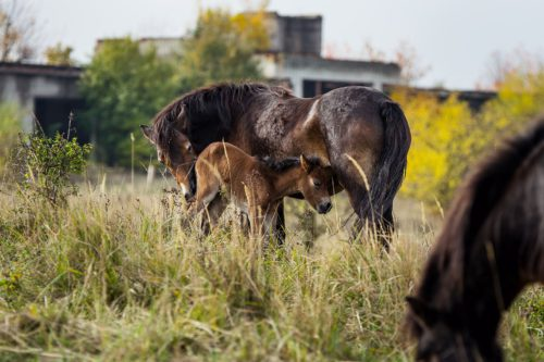 50 years after: The largest Soviet base after the occupation of former Czechoslovakia in 1968 has changed into a wild horses and wisents paradise