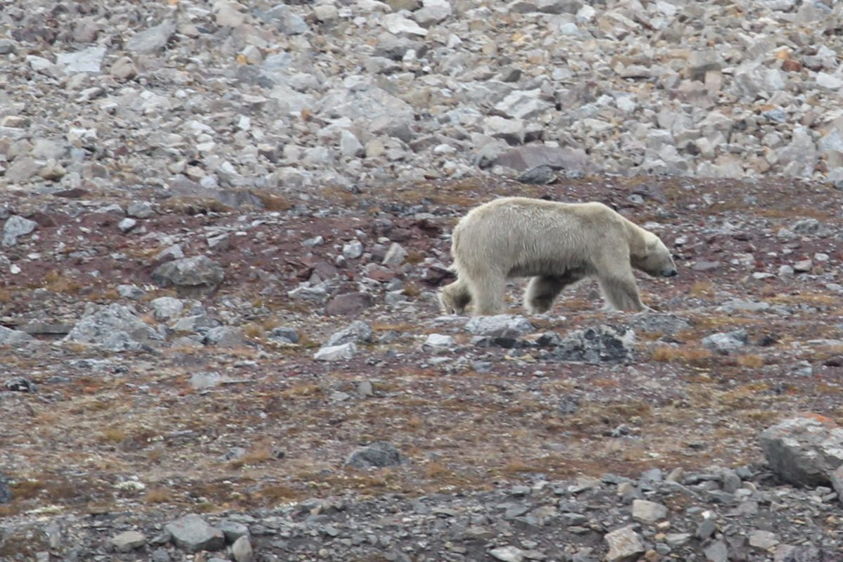 A hungry female bear strayed into a Russian town. Polar predators are jeopardised by climate change