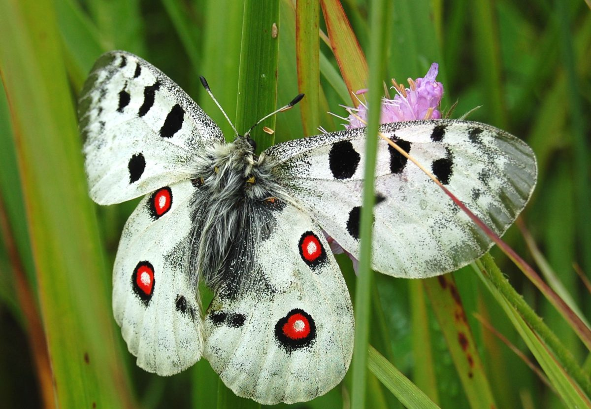 Butterflies and bees dying out throughout Europe. Scientists successfully tested a method to save them