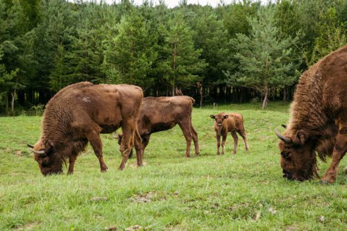 End of conservationist helplessness: large ungulates solve the large non-intervention management paradox