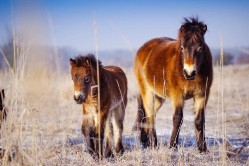 An unexpected benefit. Wild horses help landscape adapt to climate changes