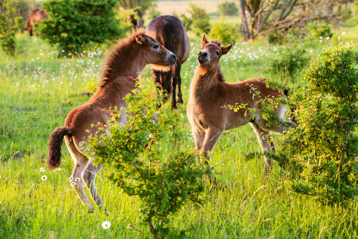 The number of wild horses in the Czech Republic has exceeded 100 record scientists after counting this year's newborns