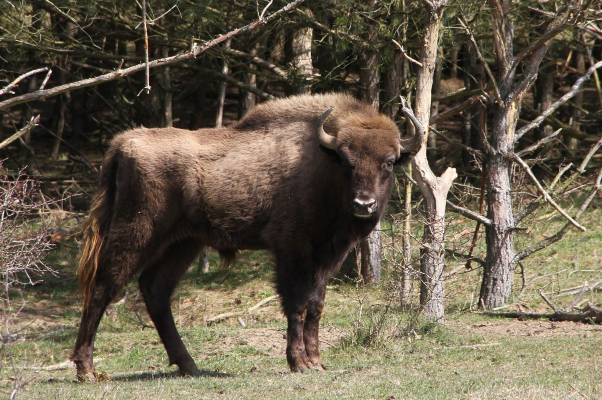 The wisent bull from Milovice, which was given name by students from Vienna, left today to Netherlands