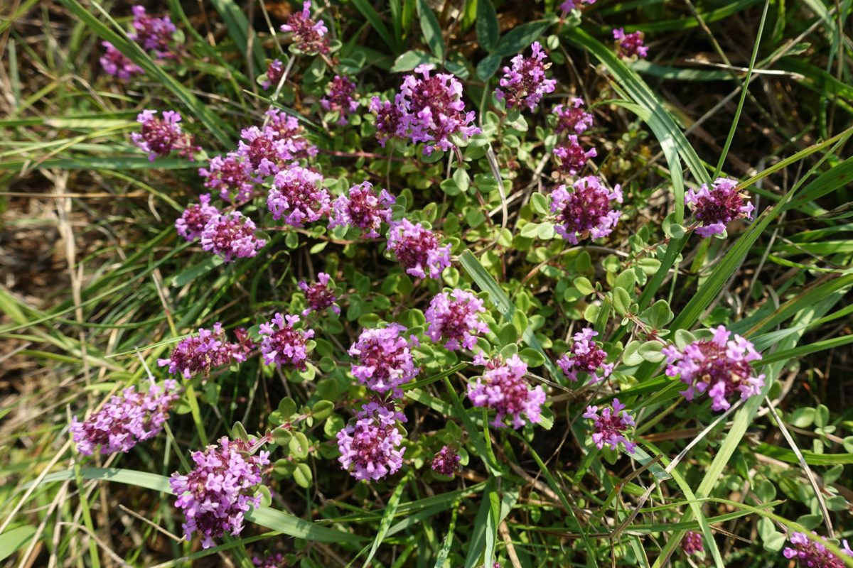 Thyme and ant gardens return to the wild horse reserve