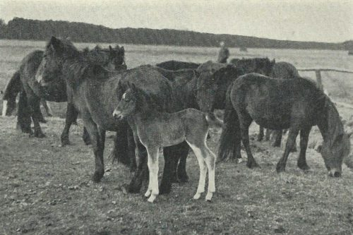 The Dülmen pony: A tragic mistake led to the extinction of the last herd of wild horses on the continent