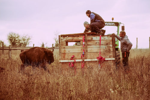 Five European bison females arrived from Białowieża, Poland, at a large herbivore reserve