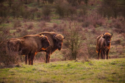 Last year, a census showed there were over ninety European bison in the Czech Republic