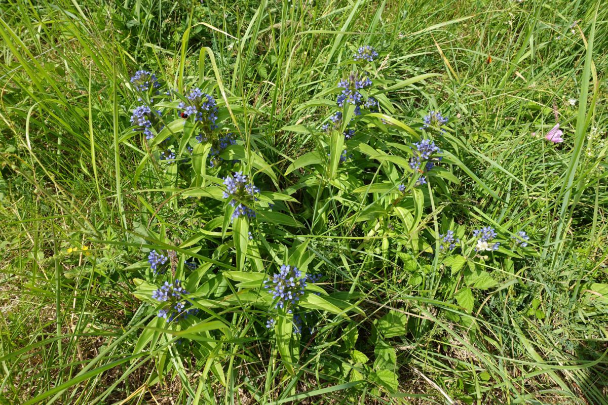 A nature reserve is flooded with rare cross gentians. Thanks to wild horses