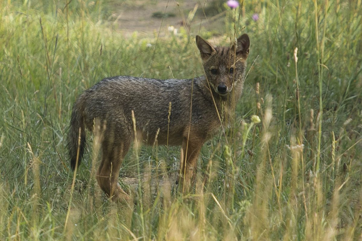 The breeding of jackals has been proven in a reserve with ranging European bison and wild horses as the northernmost occurrence of this phenomenon in Europe