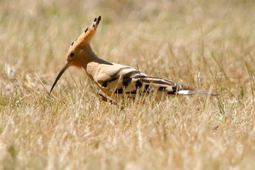 The hoopoe is back. This year, scientists watched the species for the first time in a reserve where European bison and wild horses range