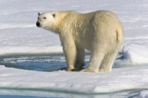 Russia promised to ban the hunting of polar bears