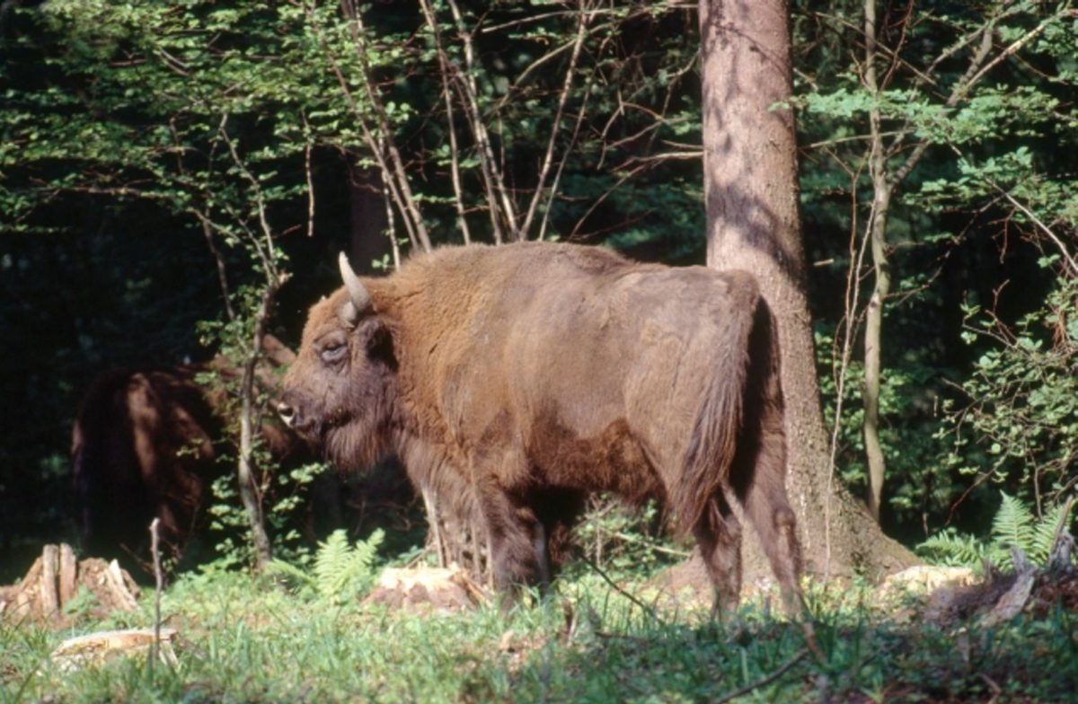 The king of the forest is going to return to Central European nature