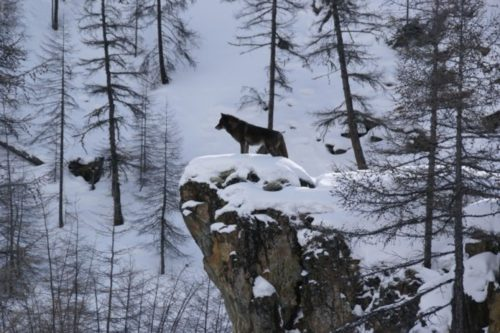 Awaiting the first wolf pack continues