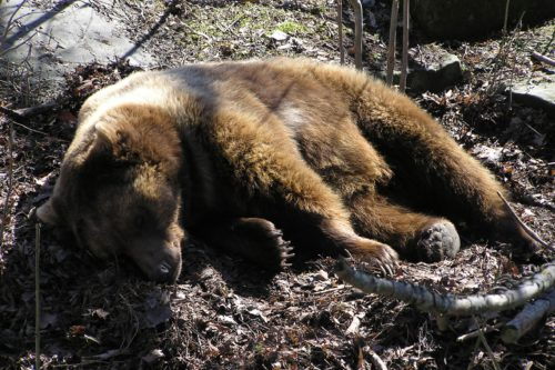 A poacher killed a bear in the eastern part of the Czech Republic. For a trophy and food
