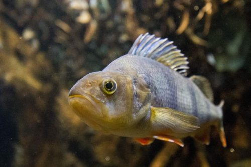 Fish, including those in European rivers, are increasingly at risk due to man-made noise