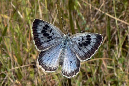 Butterflies are the sad leader of the most endangered species in the UK