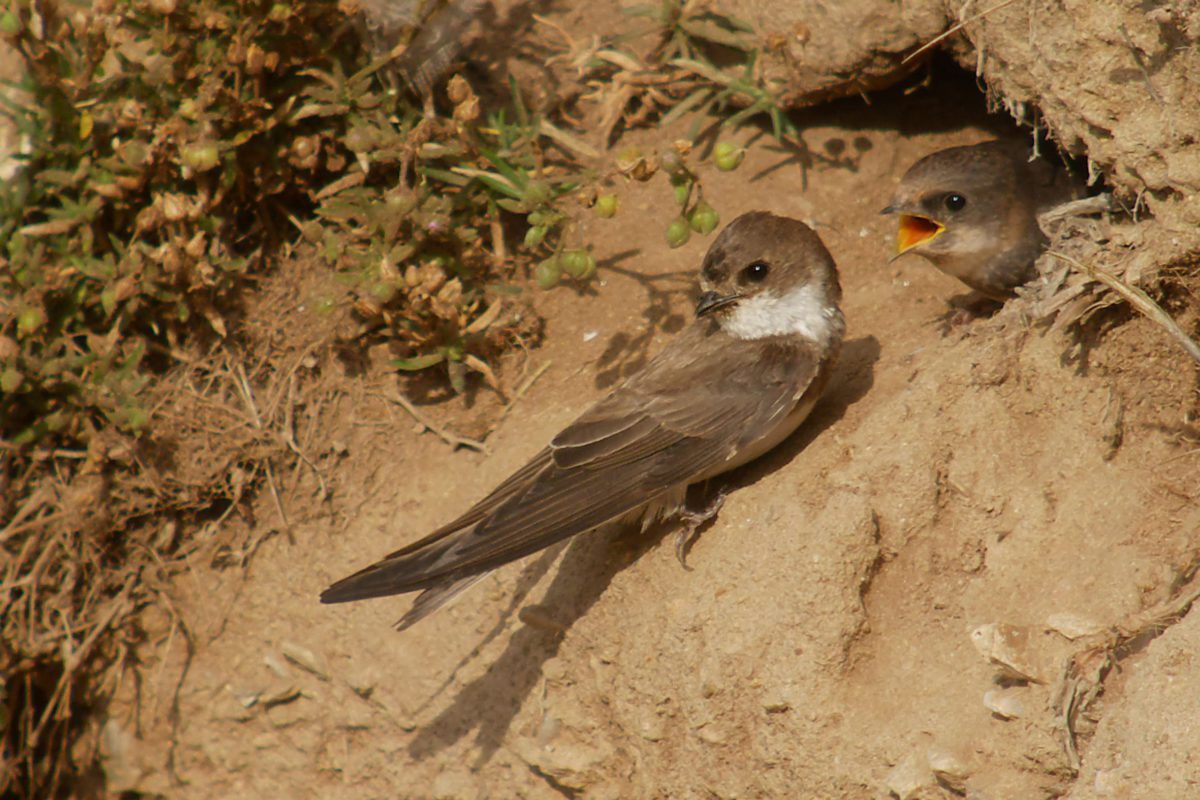 River regulation in Central Europe pushed away the endangered sand martin
